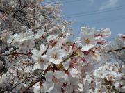 【宿河原】桜満開の二ヶ領用水2019♪