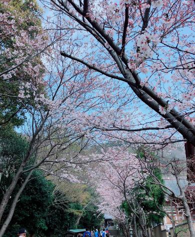 高来神社桜並木