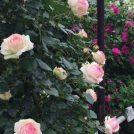 6/4(火)★宮城の3つのバラ園巡りと 仙台ロイヤルパークホテルのランチ ※催行決定