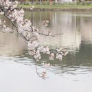 東金 お花見スポットランキング入り!桜の名所 八鶴湖(はっかくこ)