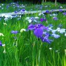 蛍だけじゃない! 花菖蒲や新緑の森も魅力の泉谷公園@おゆみ野