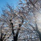 超穴場!混雑なく、昼も夜も満開の桜が楽しめる、大野田公園@三鷹・吉祥寺