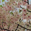 鎌倉の桜2019◎開花状況をチェック