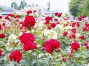 ― 今週は花をめでにでかけよう ― 初夏のバラ園へ