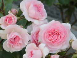 0530-rose3