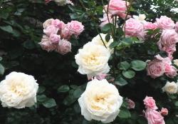 0530-rose7