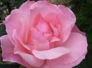 【渋谷区・参宮橋】薔薇は気高く、美しく…見ごろは、今!参宮橋公園