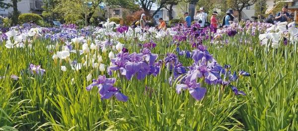 一面に咲き誇る多種多様な花菖蒲は圧巻
