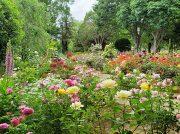 約40種のバラが満開★改元記念の特別展も実施中「廣池学園・モラロジー研究所」@南柏