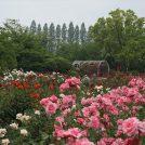 絨毯のように咲き乱れる色とりどりのバラ!【RSKバラ園】@岡山市北区