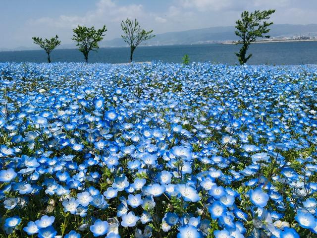 【SNS映えで大人気】大阪・舞洲の新名所!ネモフィラのブルーの世界「大阪まいしまシーサイドパーク」