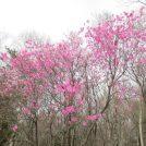 新緑の小丸山(こまるやま)~アカヤシオのピンクに染まる山~