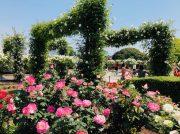 横浜が薔薇いっぱいに!横浜ローズウィーク@山下公園