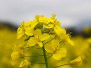 豪雨被害を乗り越えて~満開の菜の花畑~@大洲市五郎地区
