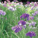【5月25日〜6月9日】平川動物公園で1万本以上の花が見頃「花しょうぶまつり」週末はイベントも開催