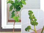 【ワタシ的、日常】あこがれの〝おうち果樹園〟はブドウから!