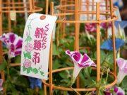 国立の夏の風物詩「第31回くにたち朝顔市」7/6(土)・7(日)開催