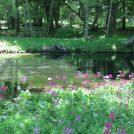 中禅寺湖北岸ハイキングコース ~クリンソウのお花畑~