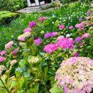 紫陽花・花菖蒲・睡蓮の花が一度に楽しめる@センター南 正覚寺