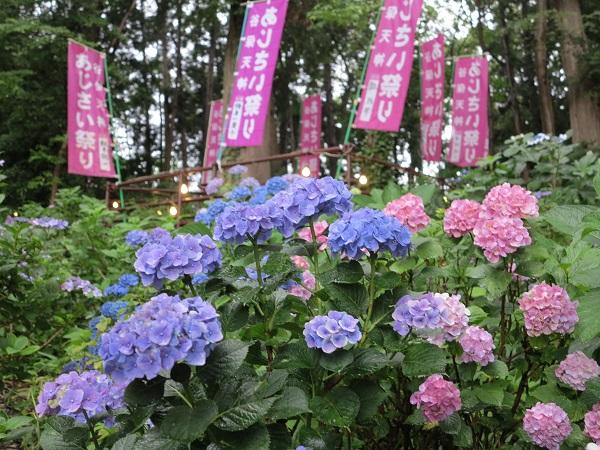tama_あじさい祭り_谷保 (5)600