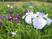 袖ケ浦公園では、花菖蒲まつりが開催中