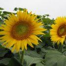 【あけぼの山農業公園@柏】一面黄色!広大なひまわり畑の見頃は7月下旬