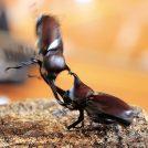 【7月21日】自慢のカブト虫で1番を目指そう!「カブト虫相撲大会」参加無料@大崎町