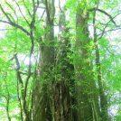 秘境・碧い渓谷スッカン沢~森の守り神「カツラの大樹」を目指して~