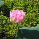 夏限定!我孫子・手賀沼の小池の蓮見船。間近で楽しむ蓮(ハス)の花
