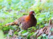 我孫子市鳥の博物館企画展「世界からみた日本の鳥」