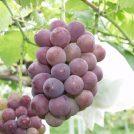 【吉備中央町】ぶどう狩りとワイン工場巡りの旅