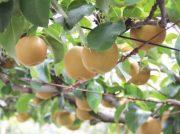 【芳賀町】梨狩りは9月いっぱい楽しめる!「金田果樹園」のこだわり・あま~い梨!
