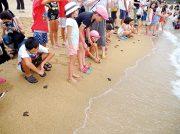 本日(8/31)夕方6時から南大隅町大浜海岸で子ガメの放流会開催!