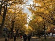 ≪晩秋の風物≫ 輝く黄金色・北大イチョウ並木を散歩