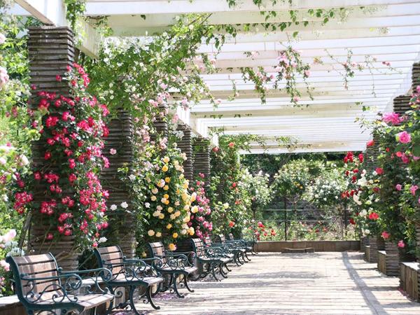 川崎市の「秘密の花園」【生田緑地ばら苑】で見頃を迎える秋バラを楽しもう