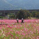 【レスパスシティ】コスモス・温泉・産直市・魅力満載で旅気分@東温市