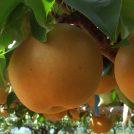 梨の新品種の愛称募集、 抽選で食のちばの逸品が当たる