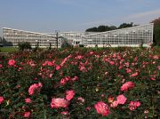 【調布】秋のバラフェスタが神代植物公園で11/10(日)まで開催中