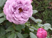 山下公園に咲く秋薔薇が2019年も楽しみすぎる!