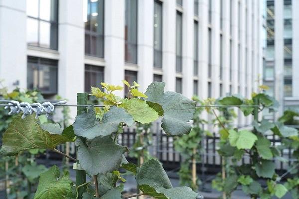 Urban Vineyard02