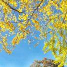 【立川・昭島】国営昭和記念公園「黄葉紅葉まつり」と「秋の夜散歩」を楽しもう!
