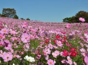 【お出かけ】「国営 昭和記念公園」2019年秋のイベント特集♪Part1♪
