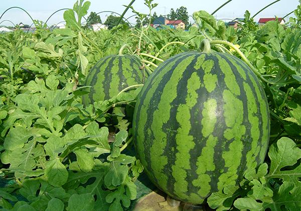 watermelon_w600