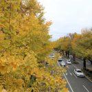 【横浜】県庁前から山下公園へ向かって銀杏並木をお散歩しよう♪