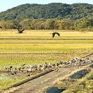【出水市】すでに1万5千羽が飛来!冬の風物詩、縁起の良い鶴を間近で観れる「出水市ツル観察センター」