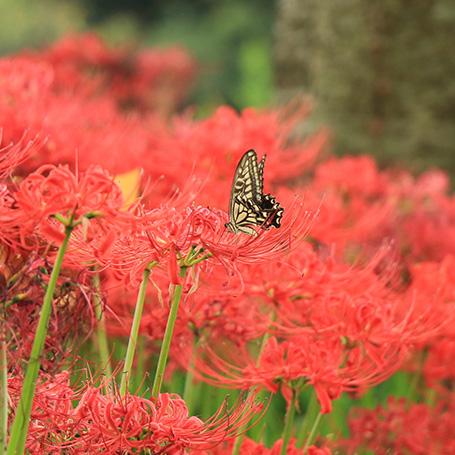 色鮮やかに咲くヒガンバナ