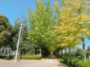 【宇都宮市】見逃さないで!素敵な宇都宮駅東公園の「銀杏並木」!