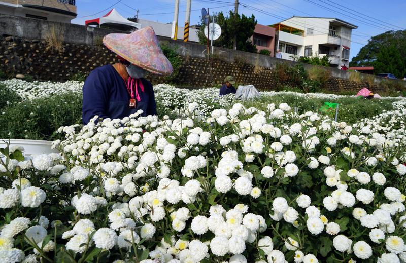 台湾・苗栗県銅鑼郷九湖村の杭菊(収穫中)