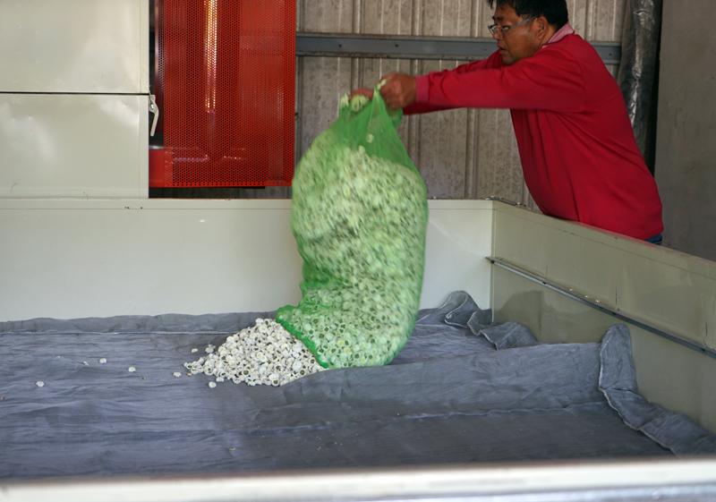 杭菊を乾燥機に入れる