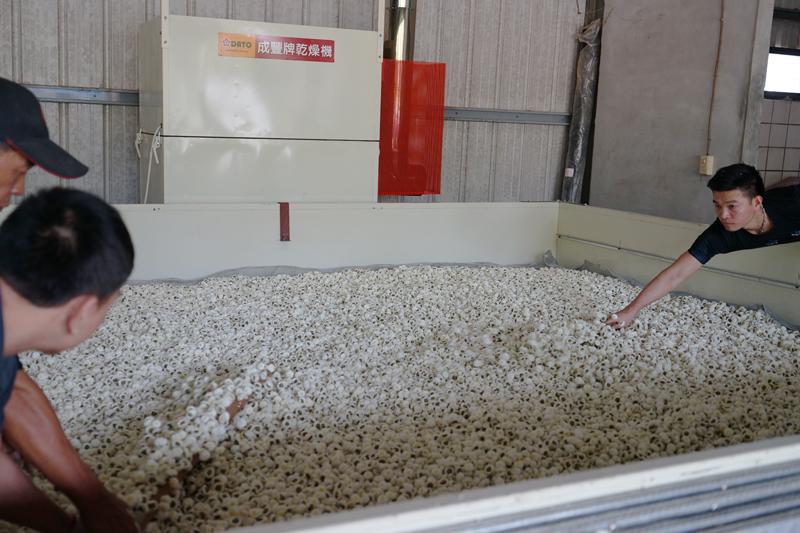 杭菊を乾燥機の金網の上にならす